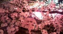 2014 Pipe Cleaner Sakura Miku - Viewing the Sakura in the Evening